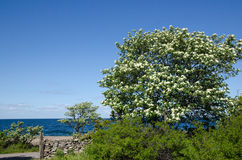 Árbol del flor en el agua azul foto de archivo libre de regalías