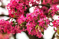 Árbol del flor sobre fondo de la naturaleza Flores del resorte rojo Imagen de archivo libre de regalías