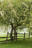 Árbol del flor y día de niebla Imágenes de archivo libres de regalías