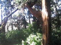 árbol del gaint foto de archivo