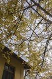 Árbol del Gingko Fotografía de archivo
