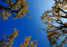 Árbol del Gingko Foto de archivo libre de regalías