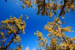 Árbol del Gingko Fotos de archivo libres de regalías