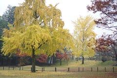 Árbol del Gingko en jardín japonés Foto de archivo libre de regalías
