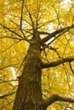 Árbol del Ginkgo foto de archivo libre de regalías