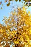 Árbol del Ginkgo Fotos de archivo libres de regalías
