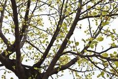 Árbol del Ginkgo de Maidenhair Foto de archivo
