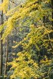 Árbol del Ginkgo en el templo blanco de la roca, Sichuan, China Imagen de archivo libre de regalías