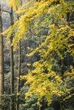 Árbol del Ginkgo en el templo blanco de la roca, Sichuan, China Fotografía de archivo libre de regalías