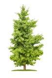 Árbol del Ginkgo en un fondo blanco Foto de archivo