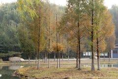 Árbol del Ginkgo por el lago Fotografía de archivo libre de regalías