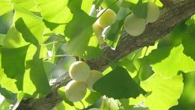 Árbol del Ginkgo y nueces de Ginkgo con el zumbido de cigarras almacen de video