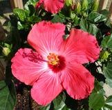 Árbol del hibisco en verano Imagen de archivo libre de regalías