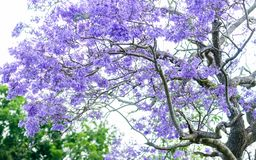 Árbol del Jacaranda imagenes de archivo