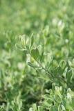 Árbol del jardín, hoja fresca después de la lluvia Imágenes de archivo libres de regalías