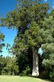 Árbol del Kauri Imagenes de archivo