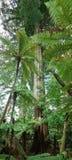 Árbol del Kauri Fotos de archivo