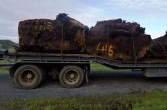 Árbol del Kauri Imágenes de archivo libres de regalías