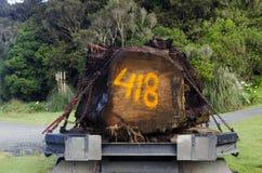Árbol del Kauri Imagen de archivo libre de regalías