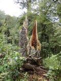 Árbol del Kauri de Nueva Zelanda Fotografía de archivo