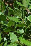 Árbol del laurel Foto de archivo libre de regalías