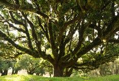 Árbol del laurel Foto de archivo