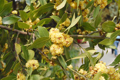 Árbol del laurel de Bloomig Imagenes de archivo