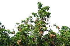 Árbol del Longan Fotos de archivo