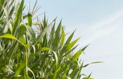 Árbol del maíz Fotografía de archivo libre de regalías