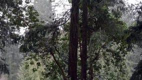 Árbol del Madrona con la nieve que cae alrededor de ella en invierno metrajes