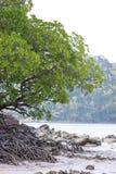 Árbol del mangle Fotografía de archivo