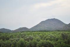 Árbol del mangle Foto de archivo libre de regalías
