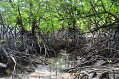 Árbol del mangle Imágenes de archivo libres de regalías