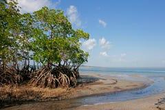 Árbol del mangle Fotos de archivo libres de regalías
