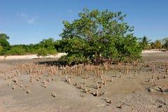 Árbol del mangle Imagen de archivo libre de regalías