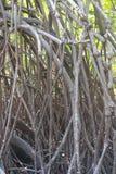 Árbol del mangle Fotografía de archivo libre de regalías