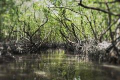 Árbol del mangle en la isla de Havelock, Andaman y Nicobar, la India imágenes de archivo libres de regalías