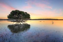 Árbol del mangle y garceta blanca Fotos de archivo