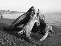 Árbol del mar Foto de archivo libre de regalías