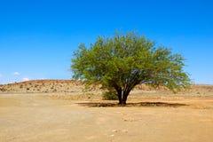 Árbol del Mesquite en desierto fotos de archivo