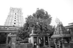 Árbol del Mongo en el templo de Ekambrareswarar fotografía de archivo