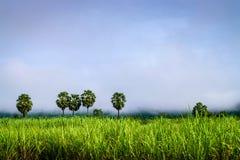 Árbol del moreno en campo de la caña de azúcar Fotos de archivo libres de regalías