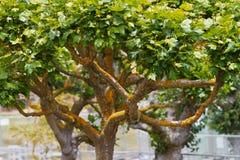 Árbol del musgo del oro Imagen de archivo libre de regalías