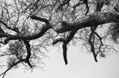 Árbol del negro y del blanco de la vida Imagen de archivo