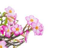 Árbol del obesum del Adenium también conocido como desierto Rose Fotos de archivo