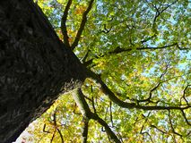 Árbol del otoño Fotografía de archivo libre de regalías