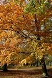 Árbol del otoño. Foto de archivo
