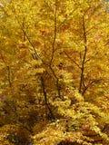 Árbol del otoño Fotografía de archivo