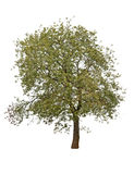 Árbol del otoño aislado Fotografía de archivo