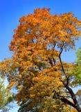 Árbol del otoño con follaje brillante Imágenes de archivo libres de regalías
